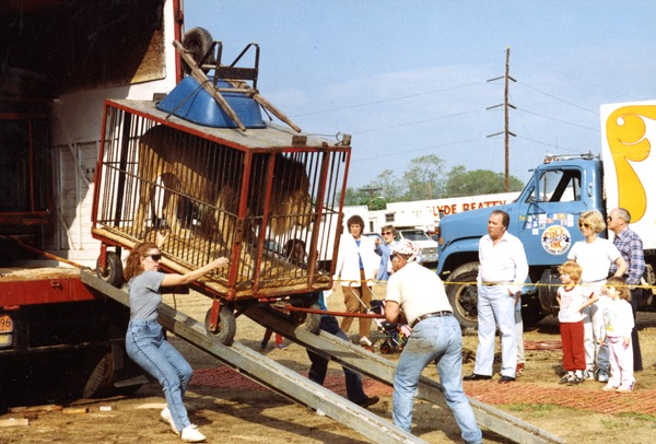 Workers unloading a lion